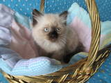 Кошки, котята Невская маскарадная, цена 800 Грн., Фото