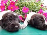 Собаки, щенята Німецька жорсткошерста лягава, ціна 7500 Грн., Фото