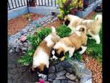 Собаки, щенята Сенбернар, ціна 7000 Грн., Фото
