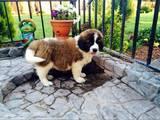 Собаки, щенки Сенбернар, цена 7000 Грн., Фото