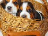 Собаки, щенки Бассет, цена 10000 Грн., Фото