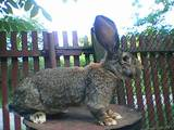Гризуни Кролики, ціна 1000 Грн., Фото