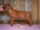 Собаки, щенята Родезійського ріджбек, ціна 28000 Грн., Фото