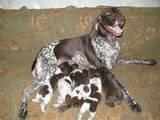 Собаки, щенята Німецька гладкошерста лягава, ціна 500 Грн., Фото