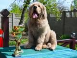 Собаки, щенки Тибетский мастиф, цена 10000 Грн., Фото