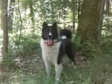 Собаки, щенки Восточно-Сибирская лайка, цена 250 Грн., Фото