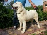 Собаки, щенки Среднеазиатская овчарка, цена 15000 Грн., Фото