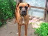 Собаки, щенята Боксер, ціна 1100 Грн., Фото