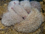 Животные Экзотические животные, цена 1200 Грн., Фото