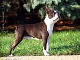 Собаки, щенята Бостонтерьер, ціна 40000 Грн., Фото