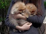 Собаки, щенки Померанский шпиц, цена 37500 Грн., Фото