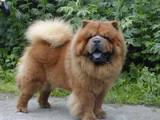 Собаки, щенки Чау-чау, цена 4500 Грн., Фото