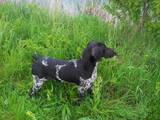 Собаки, щенята Німецька гладкошерста лягава, ціна 3 Грн., Фото