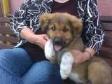 Собаки, щенята Кавказька вівчарка, ціна 3600 Грн., Фото