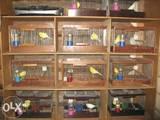 Папуги й птахи Канарки, ціна 800 Грн., Фото