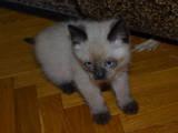 Кішки, кошенята Бурма, ціна 2500 Грн., Фото