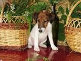 Собаки, щенята Гладкошерста фокстер'єр, ціна 2300 Грн., Фото