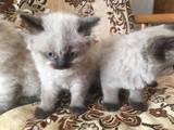 Кішки, кошенята Персидська, ціна 600 Грн., Фото