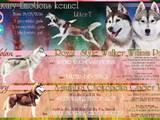 Собаки, щенята Сибірський хаськи, ціна 6000 Грн., Фото