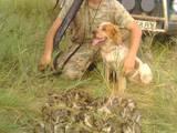 Собаки, щенки Русский спаниель, цена 200 Грн., Фото