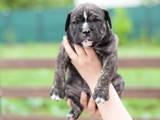Собаки, щенята Мальоркскій бульдог (Ка Де Бо), ціна 13500 Грн., Фото