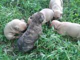 Собаки, щенки Американский стаффордширский терьер, цена 2100 Грн., Фото