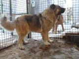 Собаки, щенки Кавказская овчарка, цена 8000 Грн., Фото