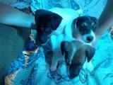Собаки, щенки Гладкошерстный фокстерьер, цена 3.50 Грн., Фото