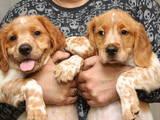 Собаки, щенки Разное, цена 7000 Грн., Фото
