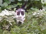 Кошки, котята Британская короткошерстная, Фото
