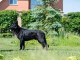 Собаки, щенята Східно-Європейська вівчарка, ціна 9500 Грн., Фото