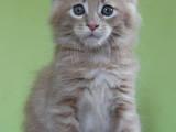 Кішки, кошенята Мейн-кун, ціна 13640 Грн., Фото