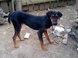Собаки, щенята Естонський гончак, ціна 5 Грн., Фото