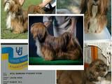 Собаки, щенки Лхаса апсо, цена 5000 Грн., Фото