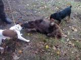 Собаки, щенки Гладкошерстный фокстерьер, цена 1250 Грн., Фото