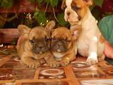 Собаки, щенята Французький бульдог, ціна 17500 Грн., Фото