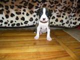 Собаки, щенята Стаффордширський бультер'єр, ціна 1500 Грн., Фото