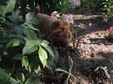 Собаки, щенята Шарпей, ціна 6000 Грн., Фото