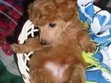 Собаки, щенята Той-пудель, ціна 4000 Грн., Фото