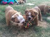 Собаки, щенята Англійський бульдог, ціна 2500 Грн., Фото