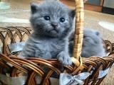 Кішки, кошенята Британська короткошерста, ціна 900 Грн., Фото