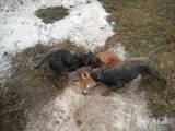 Собаки, щенки Ягдтерьер, цена 1800 Грн., Фото