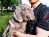 Собаки, щенята Веймарська лягава, ціна 13500 Грн., Фото