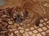 Собаки, щенки Вельш корги кардиган, цена 3500 Грн., Фото