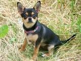 Собаки, щенки Чихуа-хуа, цена 7500 Грн., Фото