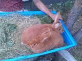 Гризуни Кролики, ціна 300 Грн., Фото