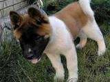 Собаки, щенята Американський акіта, ціна 7000 Грн., Фото