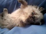 Кішки, кошенята Персидська, ціна 1700 Грн., Фото
