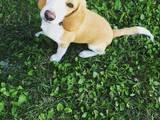 Собаки, щенята Бігль, ціна 4000 Грн., Фото
