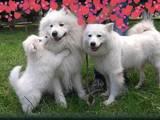 Собаки, щенята Самоїдом, ціна 17367 Грн., Фото